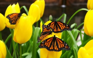 monarch-butterflies-9742-400x250