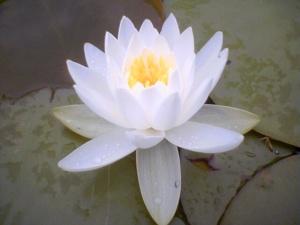 lotus_flower1