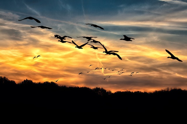 geese-610098_960_720